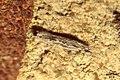 Gelechia senticetella (BG) (24189514372).jpg