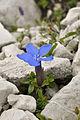 Gentiana verna in Totes Gebirge1.jpg