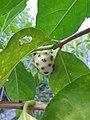 Gentianales - Morinda yucatanensis - 5.jpg