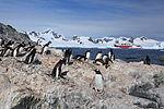 Gentoo Penguins at Waterboat Point, Antarctica (6122974902).jpg