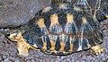 Geochelone radiata (aka).jpg