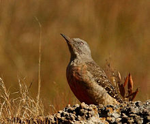 Geocolaptes olivaceus -South Africa-8.jpg