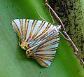 Geometer Moth, Pityeja species, (histrionaria^) Geometridae - Flickr - gailhampshire.jpg