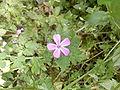 Geranium-robertianum 28042009.jpg