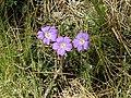 Geranium potentillifolium.jpg