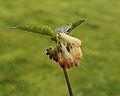 Gewone smeerwortel (Symphytum officinale) 04.JPG