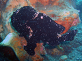 Giant Frogfish (120 cm).png