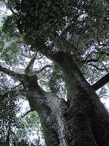 Wild West Car >> Olea capensis - Wikipedia