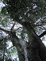 Giant Ironwood Tree - Olea capensis macrocarpa - Newlands Forest - Cape Town 1.jpg