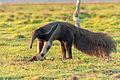 Giant anteater - Oso hormiguero (Myrmecophaga tridactyla) (8697863742).jpg