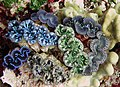Giant clams (12197415505).jpg