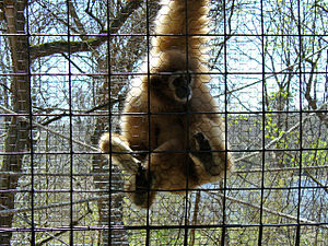 Binder Park Zoo - Gibbon at Binder Park Zoo.
