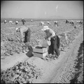 Gila River Relocation Center, Rivers, Arizona. Evacuee farmers are here shown harvesting cucumbers . . . - NARA - 538586.tif