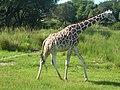 Giraffe (3896586451).jpg