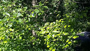 Girdling - Yellowing of alder leaves due to girdling.