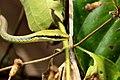 Giri's Bronzeback Tree Snake - Dendrelaphis girii. (31595149354).jpg