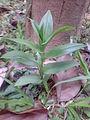 Gloriosa Superba Little Plant.JPG