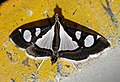 Glyphodes bicolor Crambidae by Dr. Raju Kasambe DSCN0453 (10).jpg