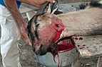Goat killed at Christmas Lunch 2.jpg