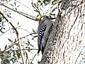 Golden-Fronted Woodpecker 0003.jpg