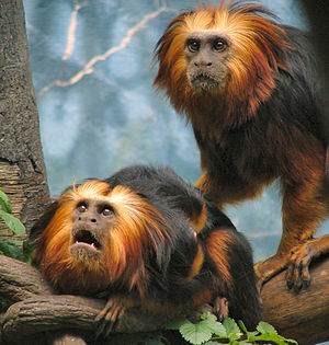 Chapultepec Zoo - Golden-headed lion tamarin, an endangered species endemic to Bahia, Brazil, at the zoo. Four tamarins are pictured, with two babies clinging to the lower tamarin's back.