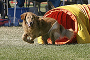 Most Goldens need plenty of exercise, such as dog agility.