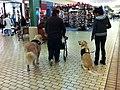Golden Retreiver Service Dog.JPG
