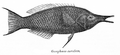 GomphosusCaeruleus.png