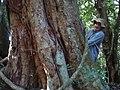Grápia (Apuleia leiocarpa) gigante - panoramio.jpg