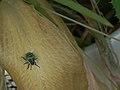 Grün-schwarzes Insekt 2011.JPG