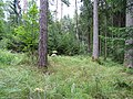 Grabhügelgruppe Hartwald Wald 5.jpg
