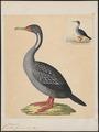 Graculus gaimardi - 1825-1838 - Print - Iconographia Zoologica - Special Collections University of Amsterdam - UBA01 IZ18000133.tif