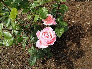 Grandiflora - Queen Elisabeth 9 (b).JPG