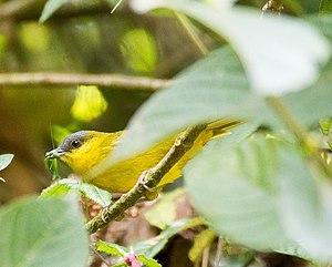 Venezuelan Andes montane forests - grey-capped hemispingus (Hemispingus reyi)
