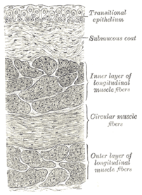 Vertical section of bladder wall.