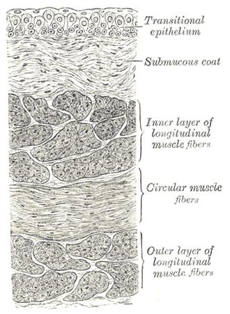 Submucosa - Image: Gray 1141