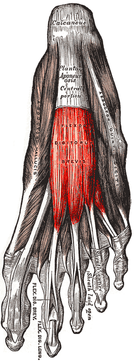 Musculus flexor digitorum brevis