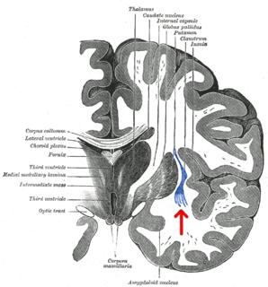 Claustrum structure in the brain, gray matter lamina located underneath the inner neocortex