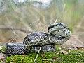 Gray Ratsnake (Pantherophis spiloides) (43567652625).jpg