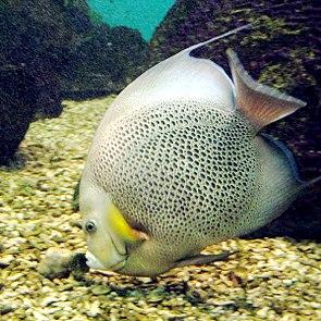 Grauer Kaiserfisch (Pomacanthus arcuatus)