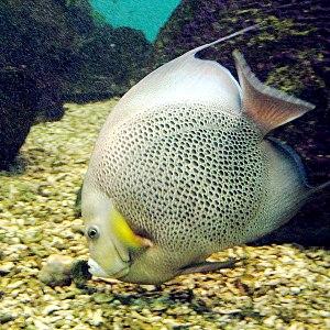 Pomacanthus - Gray angelfish, Pomacanthus arcuatus