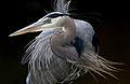 Great-blue-heron-1.jpg