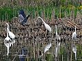 Great Egrets (8748333444).jpg