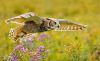 Great horned owl - Great horned Owl wings