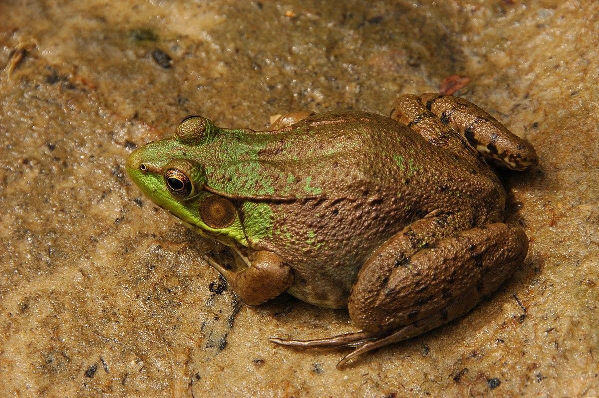 Ranidae - Wikipedia, la enciclopedia libre