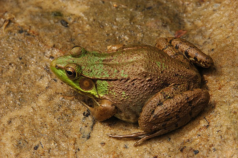 قورباغه سبز (برنزی) آمریکایی : American Green (Bronze) Frog