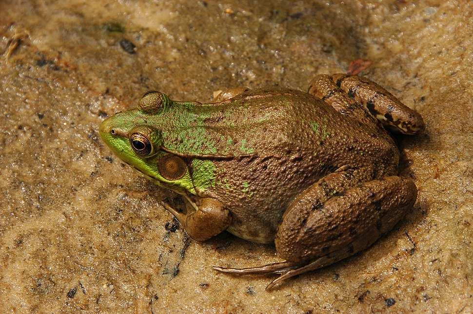 Green Frog Rana clamitans Facing Left 3008px