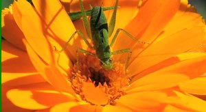 File:Green grashopper on a Calendula.ogv
