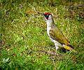 Green woodpecker (19857668696).jpg
