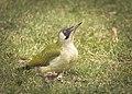 Green woodpecker (51070458541).jpg
